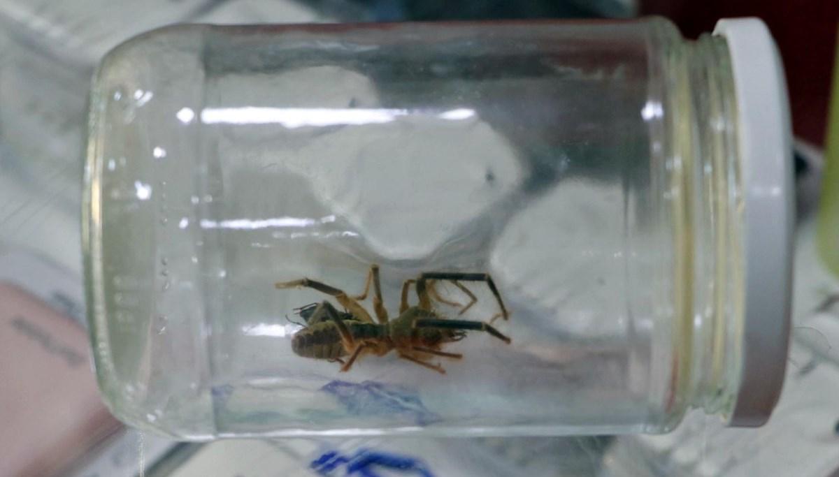 'Sarıkız' örümceğine iş yerinde bakıyor