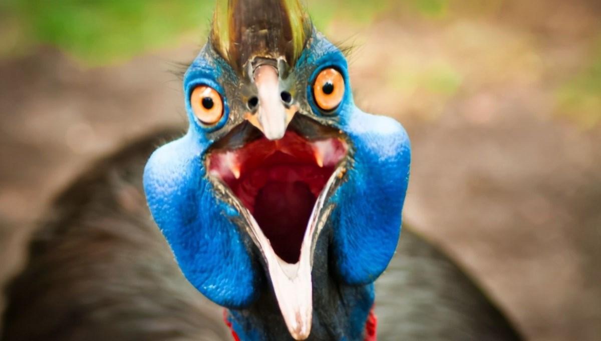 Dünyanın en tehlikeli kuşunun 18 bin yıl önce evcilleştirildiği ortaya çıktı: Tek bir darbesi insanlarının iç organlarının boşalması için yeterli