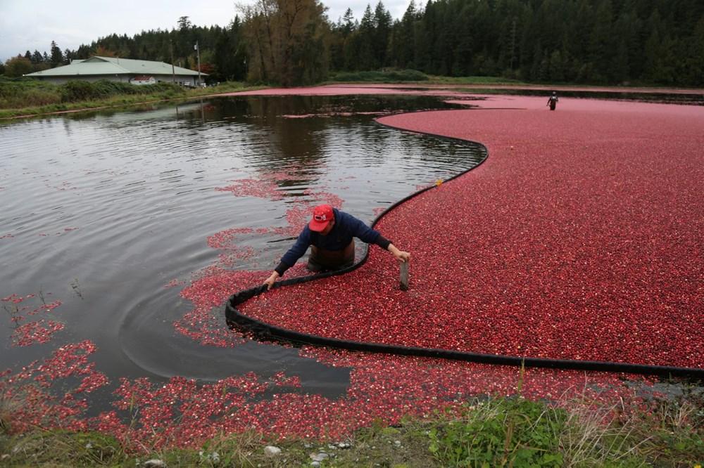 Kanada'da kızılcık hasadı - 21