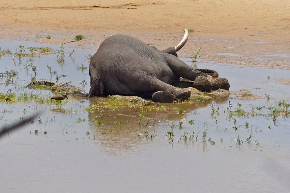 Bostvana'daki gizemli fil ölümlerinin nedeni açıklandı - 5