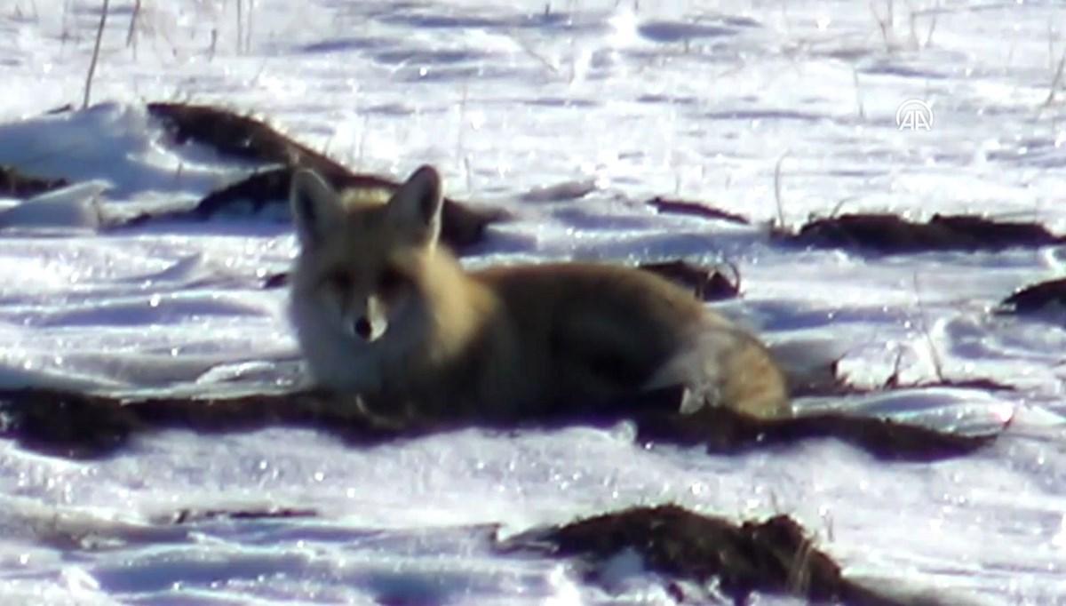 Kızıl Tilkiler karla kaplı arazide av peşinde
