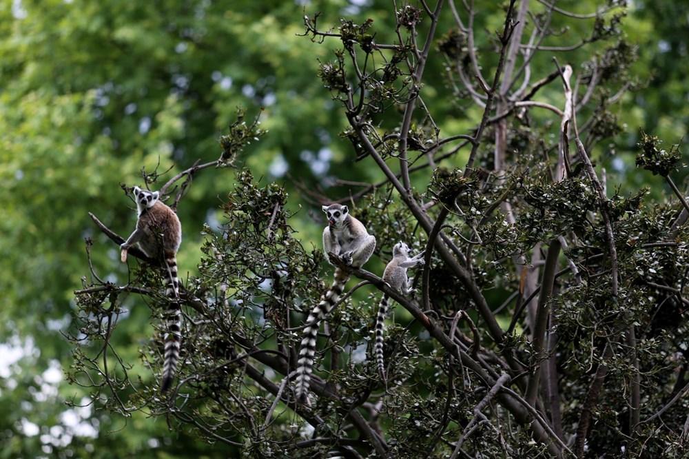Bursa'daki lemur ailesi büyüyor - 9