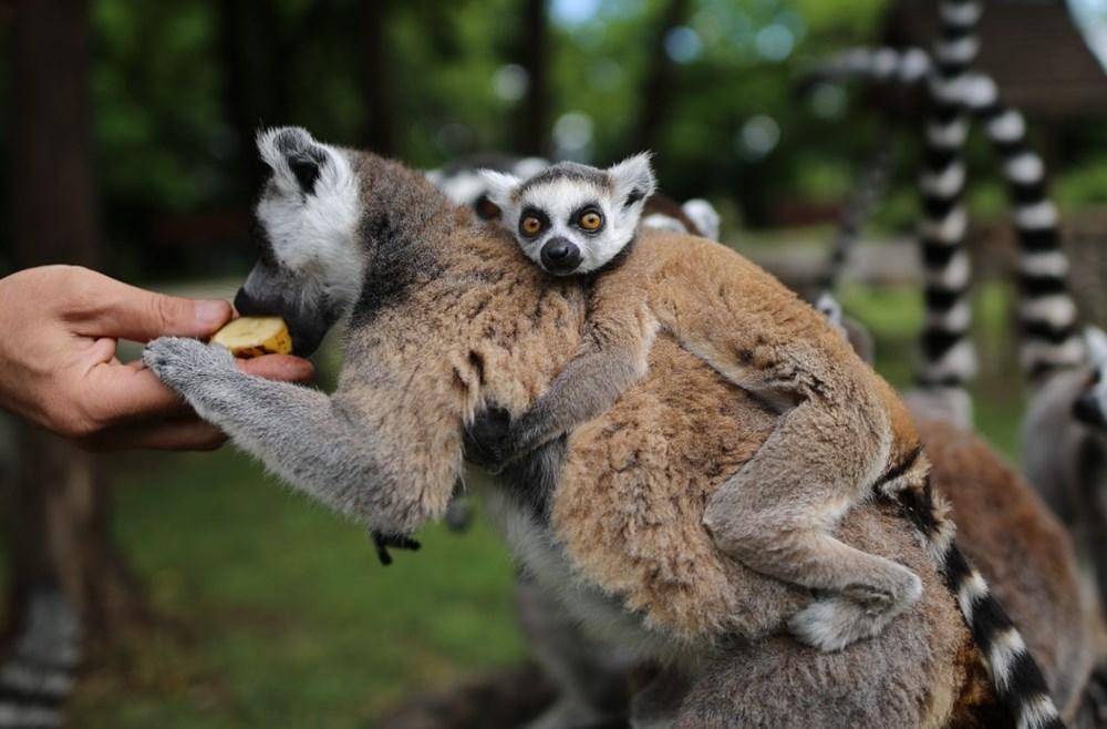 Bursa'daki lemur ailesi büyüyor - 15