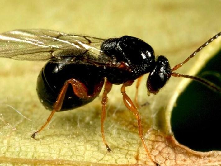 Gal arısı nedir, kestane gal arısının zararları neler?