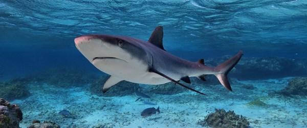 Köpek balığı avcılığı yasaklandı