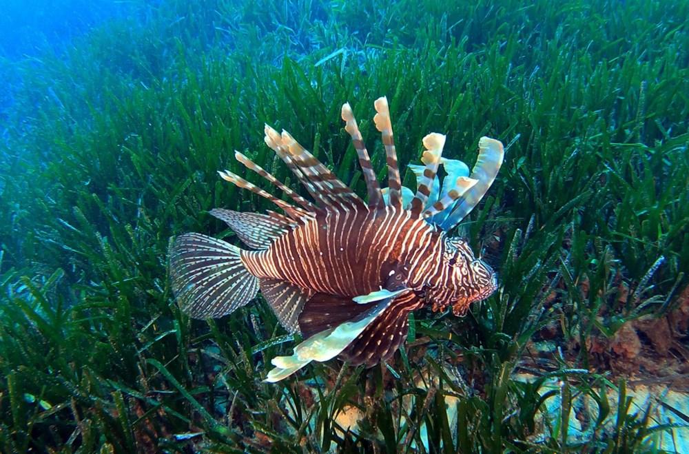 Kızıldeniz'den, Akdeniz'e göçen balık türü 65'e çıktı - 6
