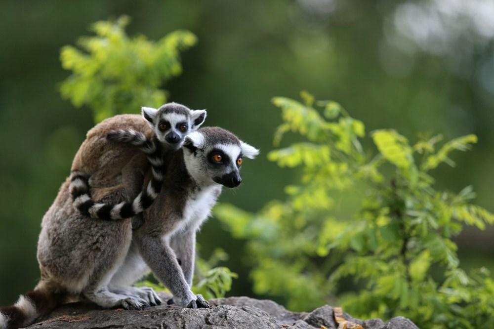 Bursa'daki lemur ailesi büyüyor - 4