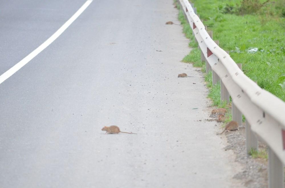 İstanbul yolunu fareler bastı - 8
