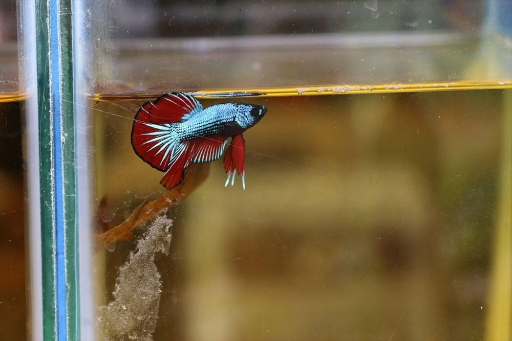 Betta balıkları yarışma için 'kuaförde' güzelleşiyor - 8