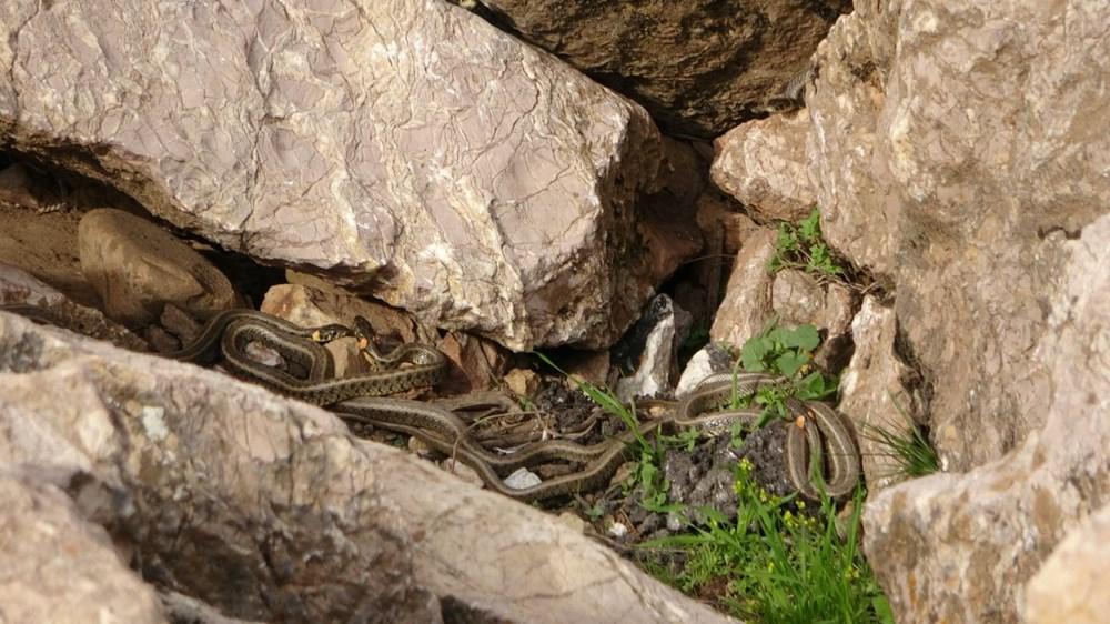 Yüksekova'da sürü halindeki yılanlar Brezilya'nın 'Yılan Adası'nı andırıyor - 11