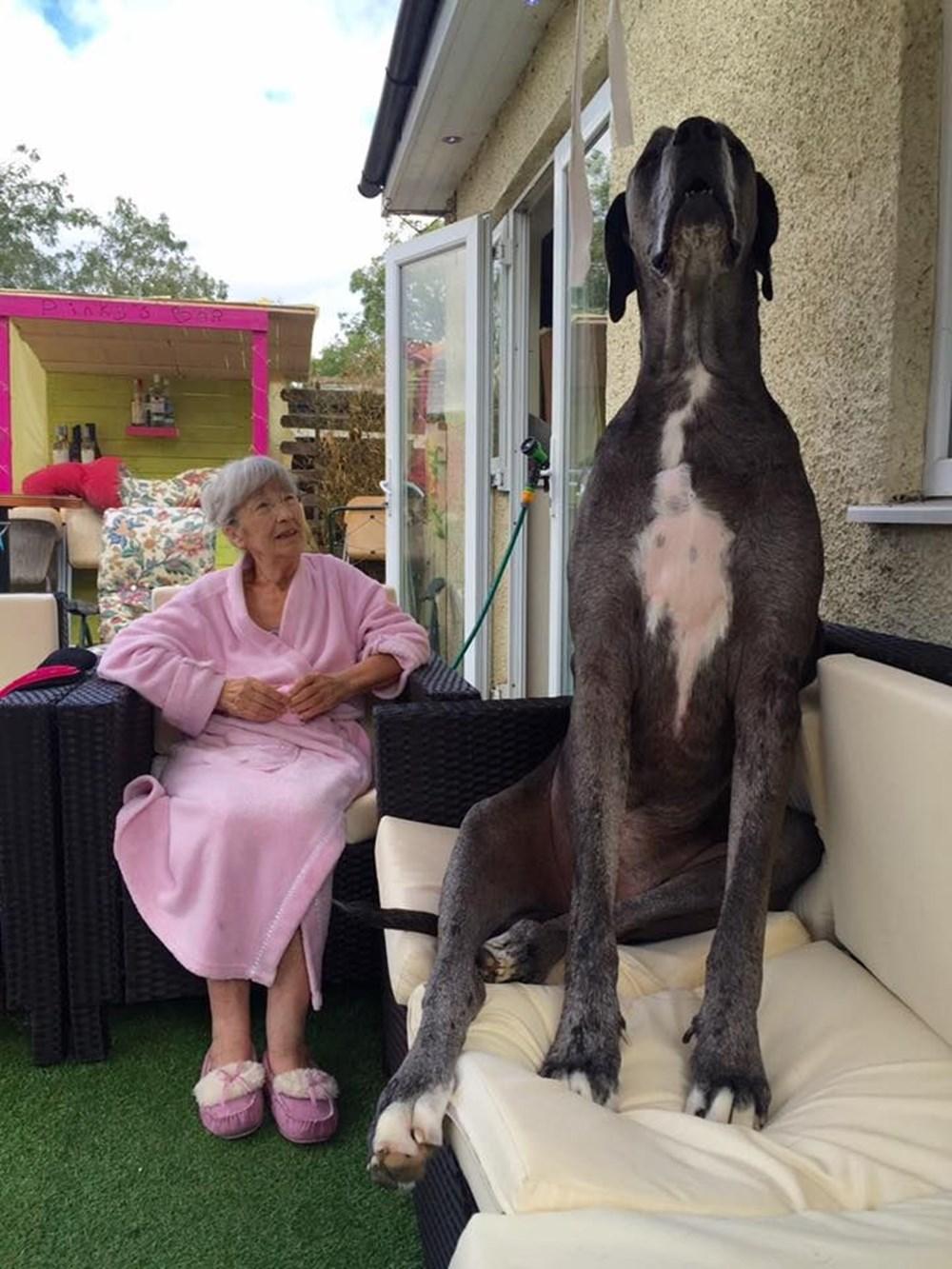 Dünyanın en uzun köpeği Freddy hayatını kaybetti - 7
