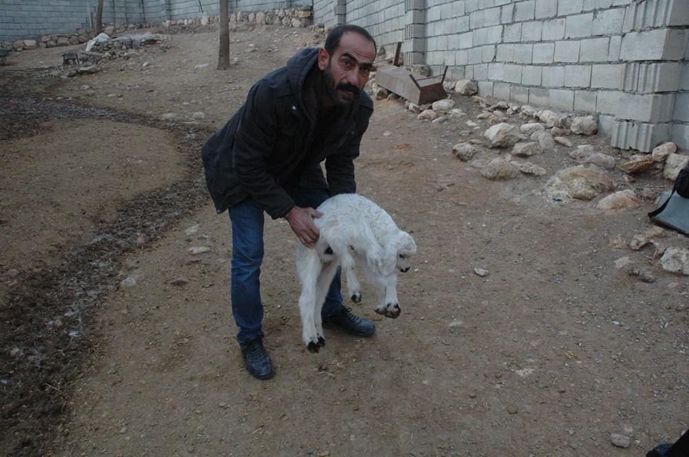 Diyarbakır'da 6 ayaklı doğan kuzu görenleri şaşırtıyor - 8