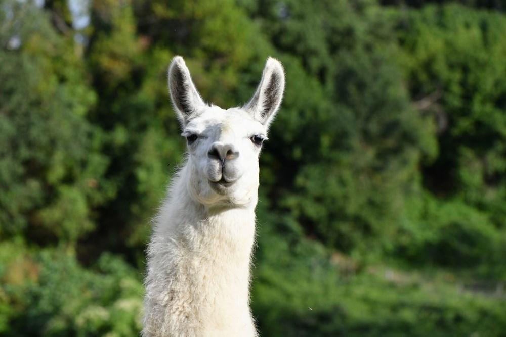 Covid-19 tedavisinde 'lama' umudu: Burun spreyi olarak kullanılacak - 3