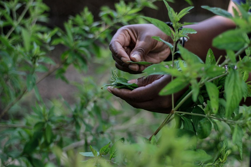 Zumbani, the plant the African country hopes for: If we didn't use it, we would be dead - 1