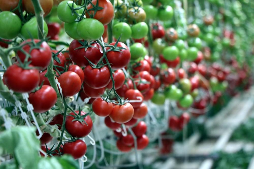 Hava sıcaklığının eksi 40'a kadar düştüğü Çaldıran'da, serada domates üretimi - 5