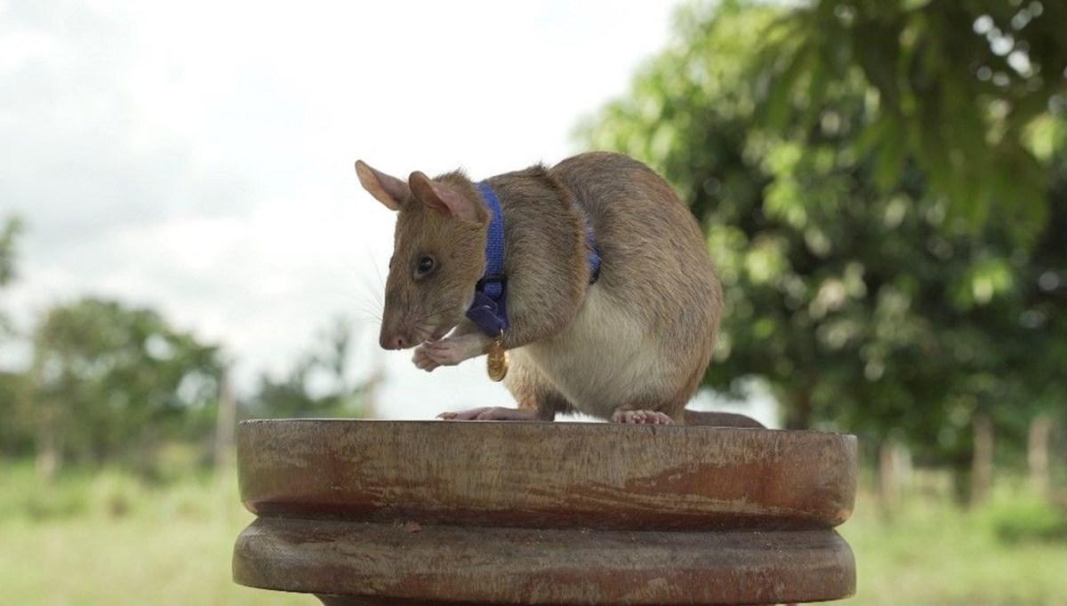 Mayın avcısı fare Magawa emekli oldu