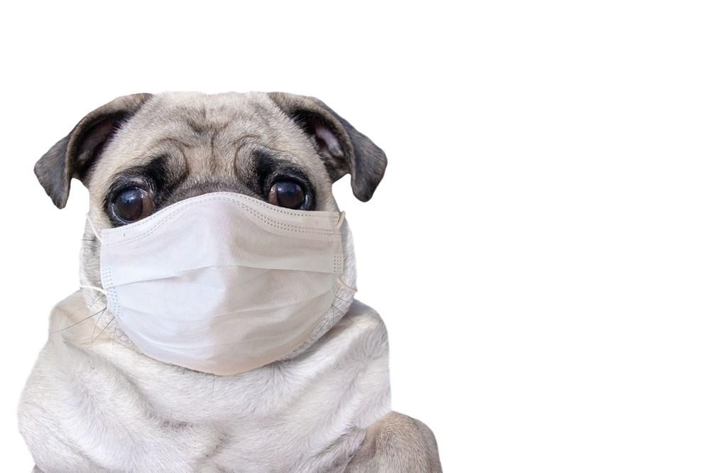 Pandemide sahiplenilen her beş köpekten biri terk edilme riskiyle karşı karşıya - 6