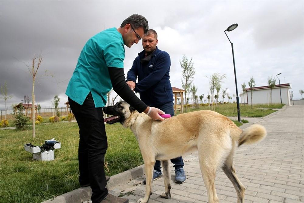 Sivas Kangal köpeklerinin genetiği çiple korunuyor - 6