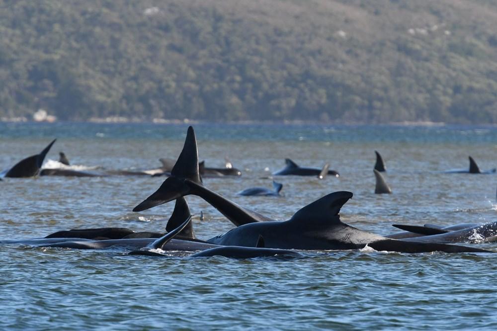 Avustralya'da sığ sularda mahsur kalan balinalardan en az 90'ı öldü - 4