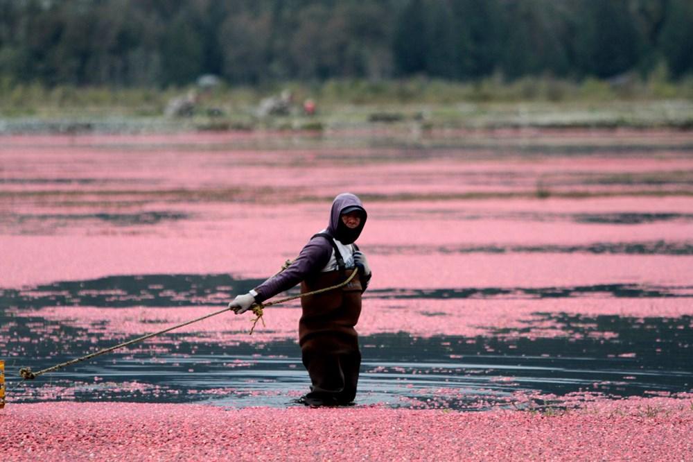 Kanada'da kızılcık hasadı - 14
