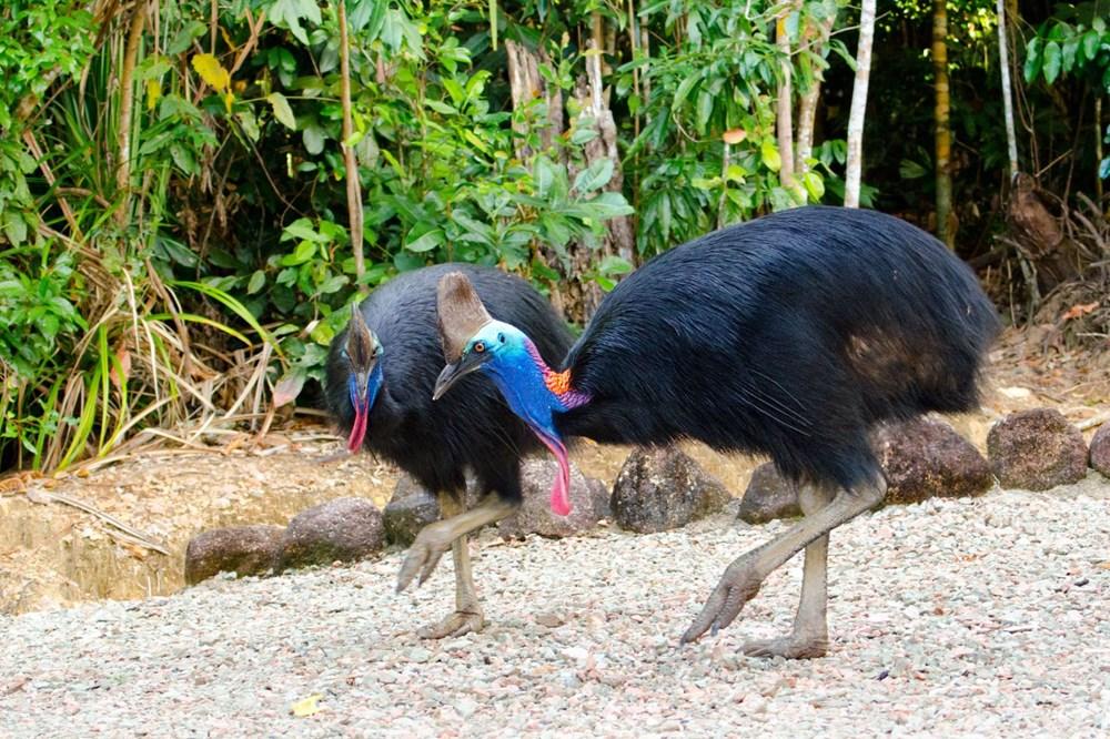 Dünyanın en tehlikeli kuşu: Tavuktan eski, dinozordan vahşi - 4