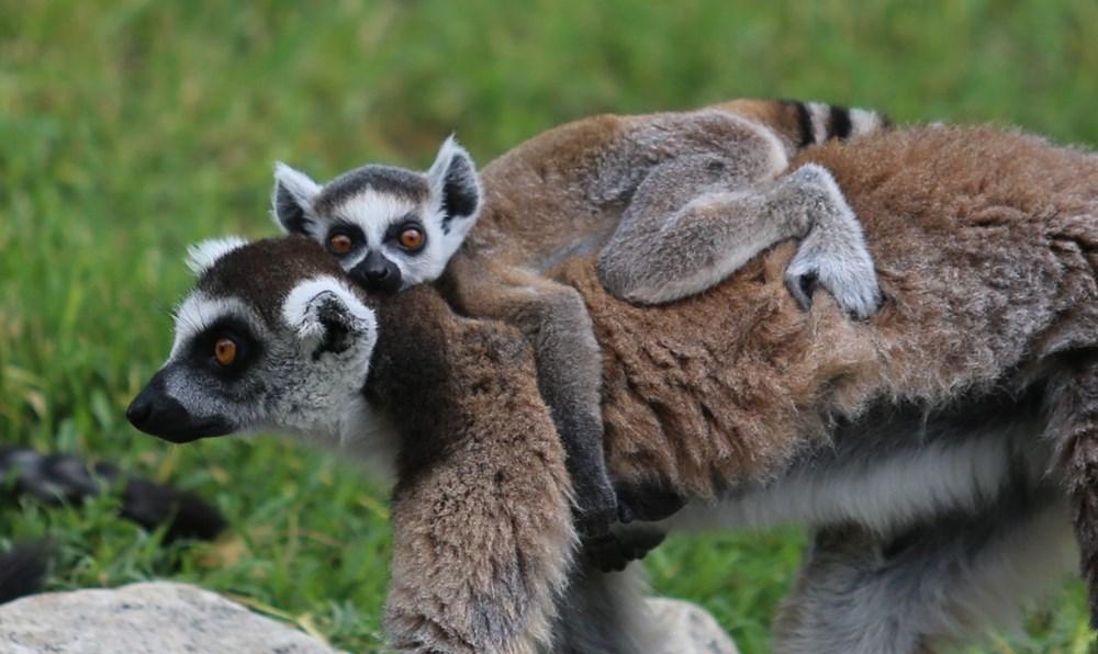 Bursa'daki lemur ailesi büyüyor - 11