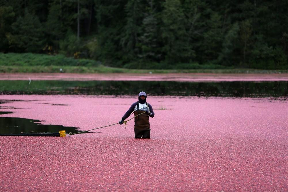Kanada'da kızılcık hasadı - 18