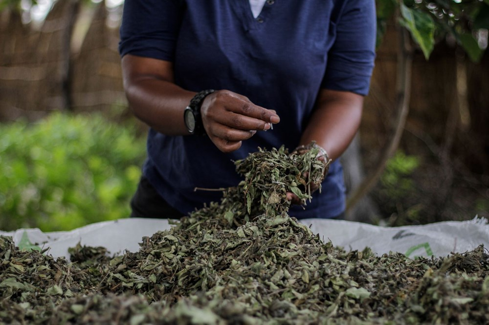 The plant that the African country hopes for, Zumbani: We would be dead if we didn't use it - 9