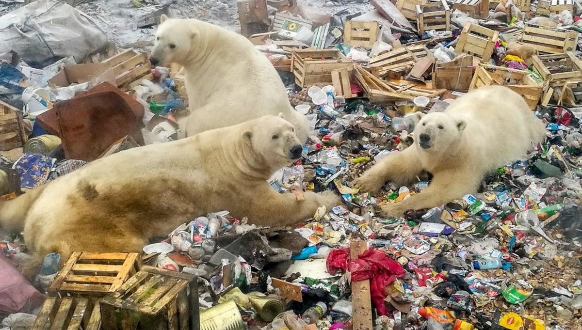 Kutup  Danimarkalı yetkililerden tepki çeken karar: Kutup ayısını vurabiliriz   ayısı