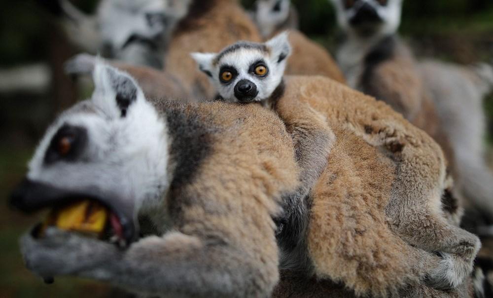 Bursa'daki lemur ailesi büyüyor - 16