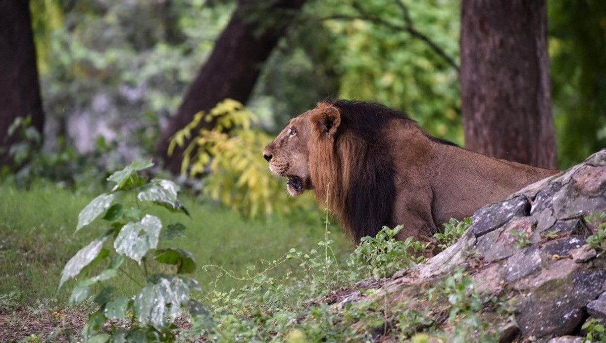 Covid leaps to animals in India, eight lions infected with the virus