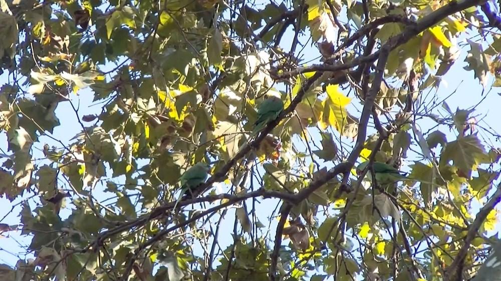 İstanbul'da yeşil papağan sayısı artıyor - 3