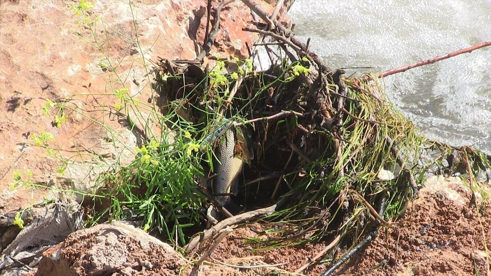 Kahramanmaraş'ta meydana gelen balık ölümlerinin nedeni araştırılıyor - 4