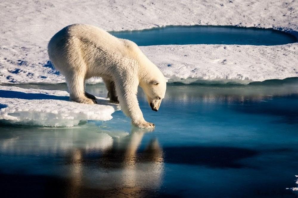 Danimarkalı yetkililerden tepki çeken karar: Kutup ayısını vurabiliriz - 5