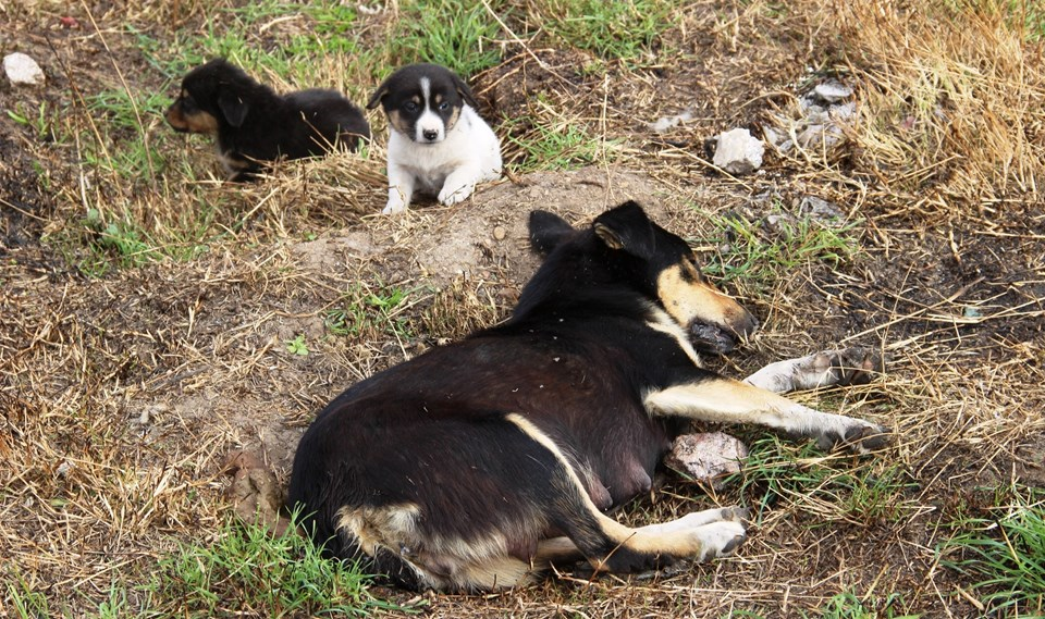 Bir yavru köpeğin zehirlenerek katledilen annesine bakışı yürekleri yaktı.