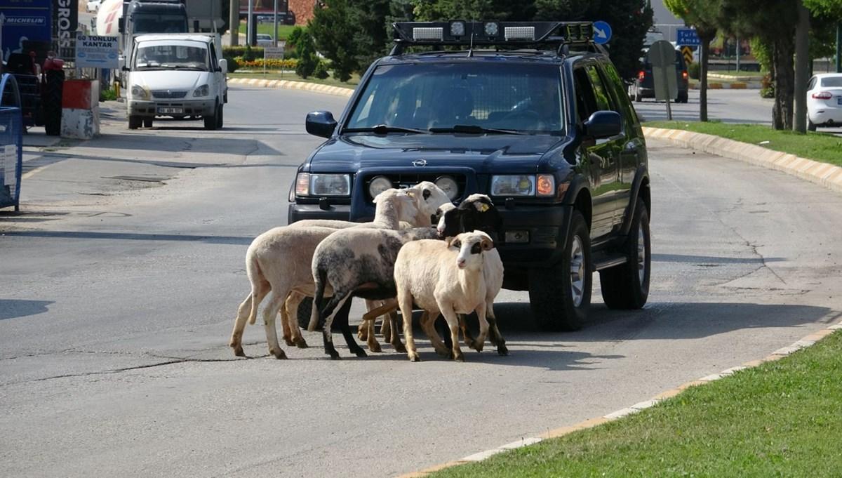 Firar eden kurbanlık koçlar trafiği karıştırdı