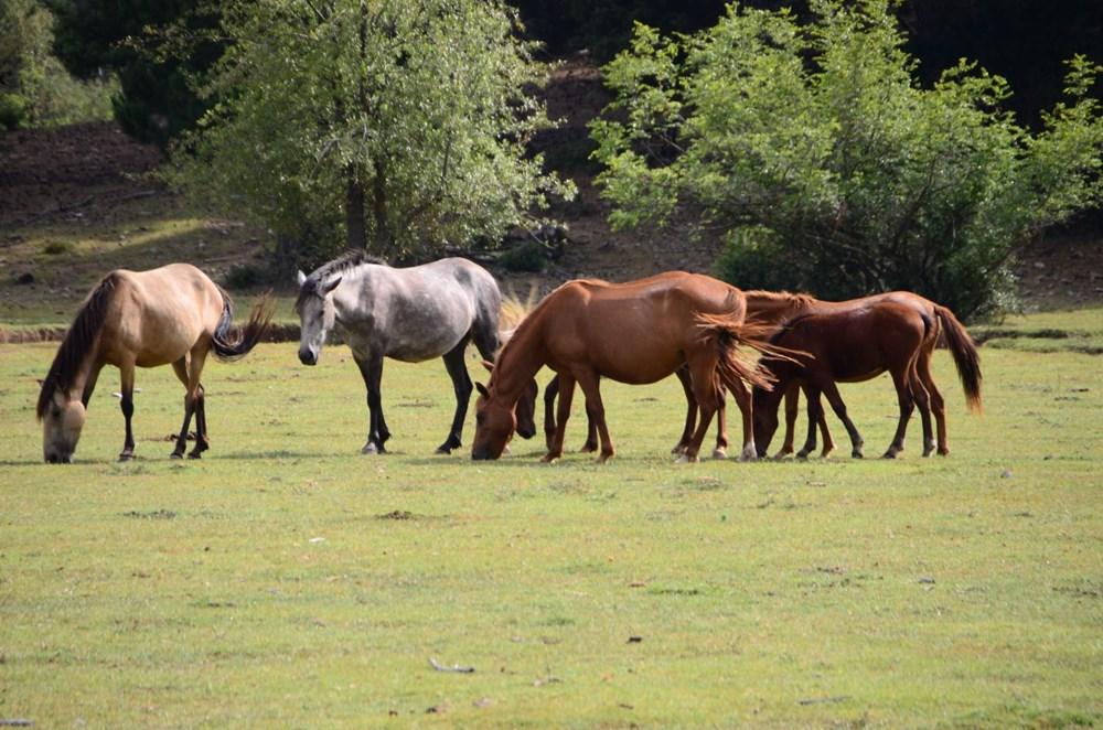 Soyları Osmanlı süvari birliğine dayanıyor! Torosların vahşi güzelliği 'Yılkı atları' - 6