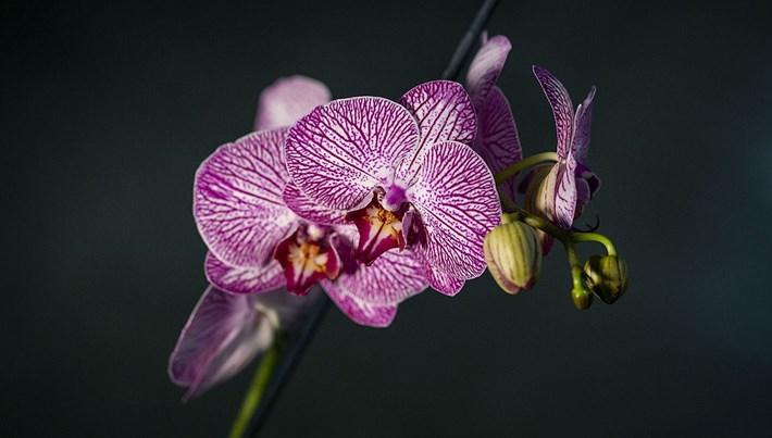 Çiçekciler 2 milyon orkide ile Sevgililer Günü'ne hazırlanıyor