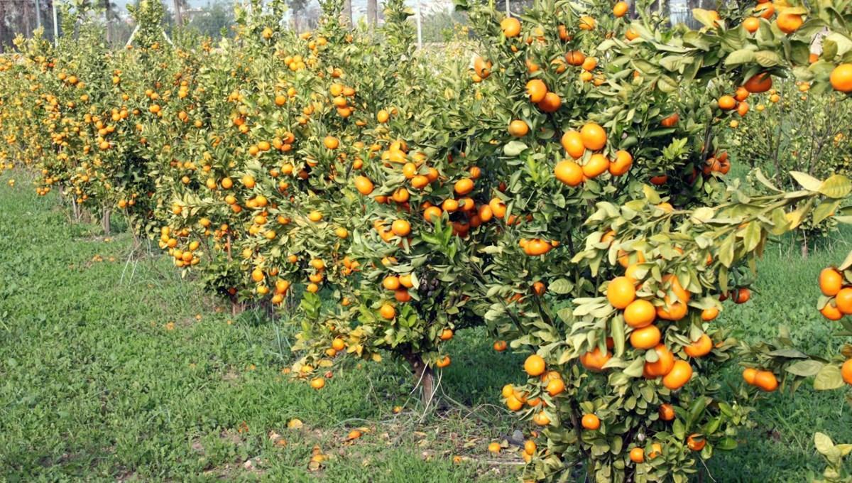 İki yeni mandarin çeşidi geliştirildi