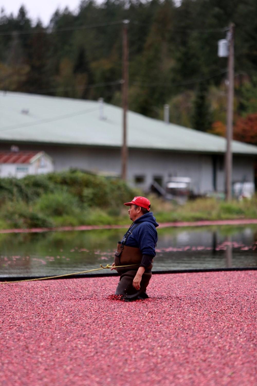 Kanada'da kızılcık hasadı - 17