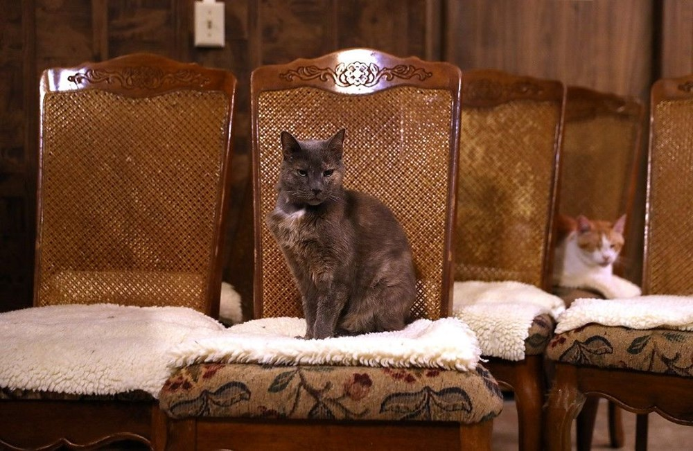 Araştırma: Karantina nedeniyle kediler insanlardan bıktı, sakinleştirici kullanıyorlar - 3