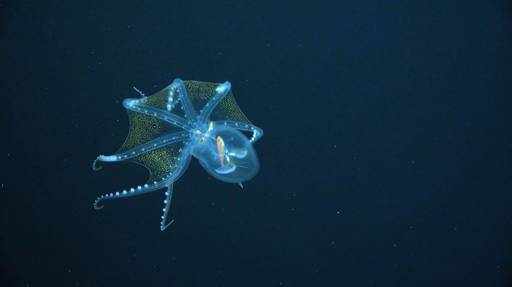 """rare in the ocean """"Glass Octopus"""" viewed - 4"""