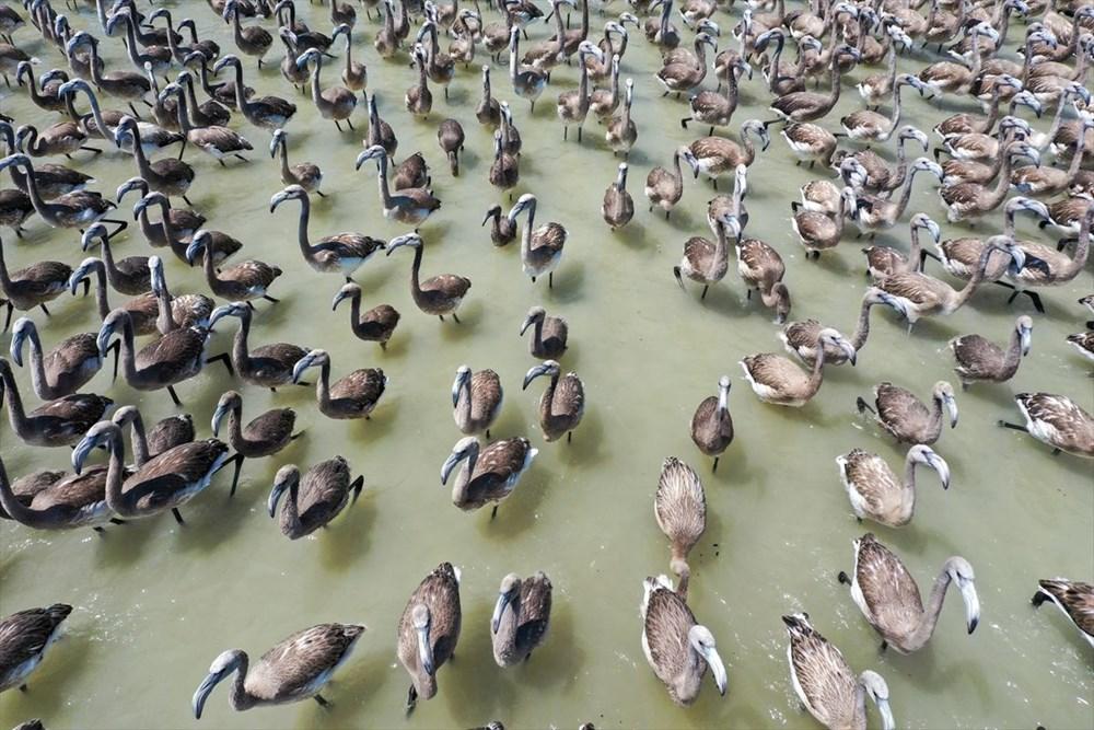 İzmir Kuş Cenneti'nde 18 bini aşkın yavru flamingo kreşte uçma hazırlığı yapıyor - 28