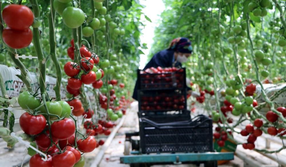 Hava sıcaklığının eksi 40'a kadar düştüğü Çaldıran'da, serada domates üretimi - 11