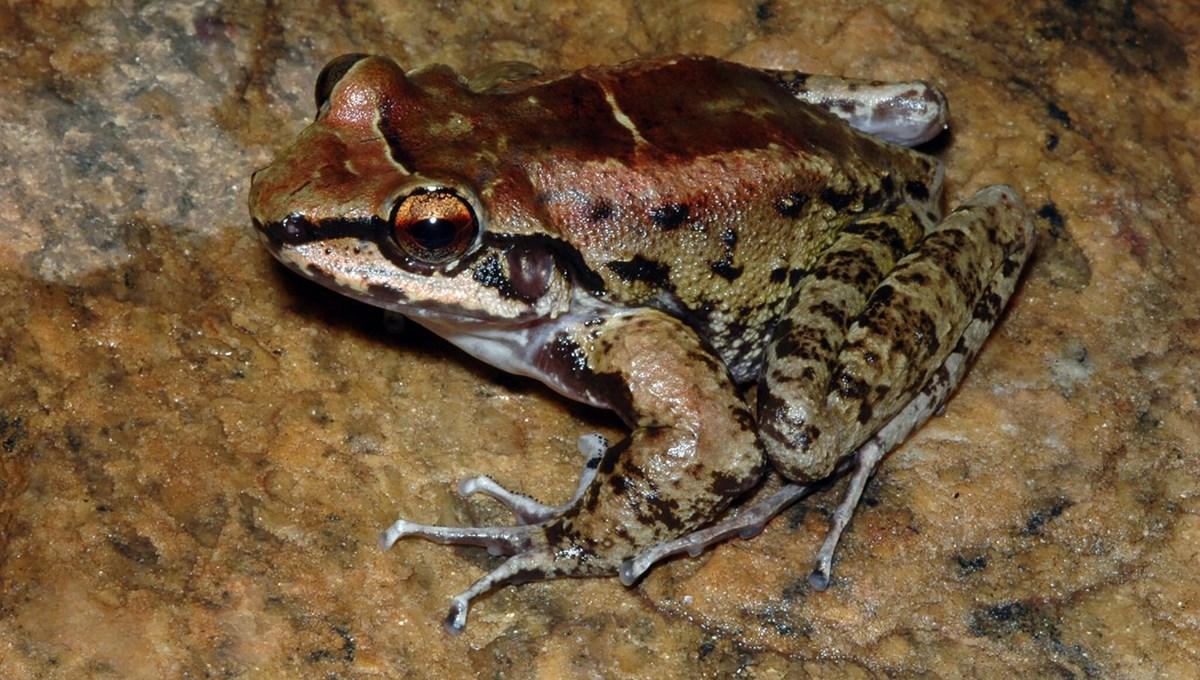 Doğada bir ilk: Zorlu rekabet koşullarına direnmek isteyen amfibi harem kurdu