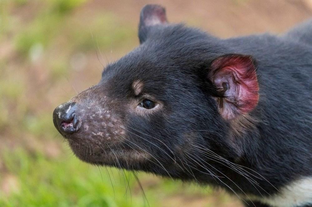 Tazmanya canavarı 3 bin yıl sonra Avustralya ana karasında doğdu: Yavru Joey dünyanın geleceğine dair umutları artırdı - 6