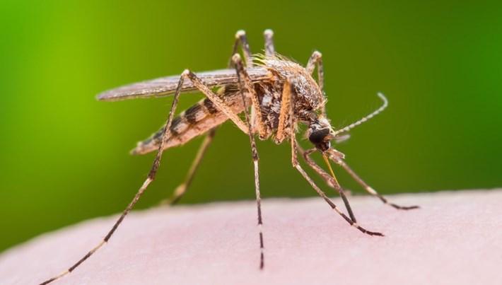 Dünya Sağlık Örgütü sivrisinekleri kısırlaştıracak