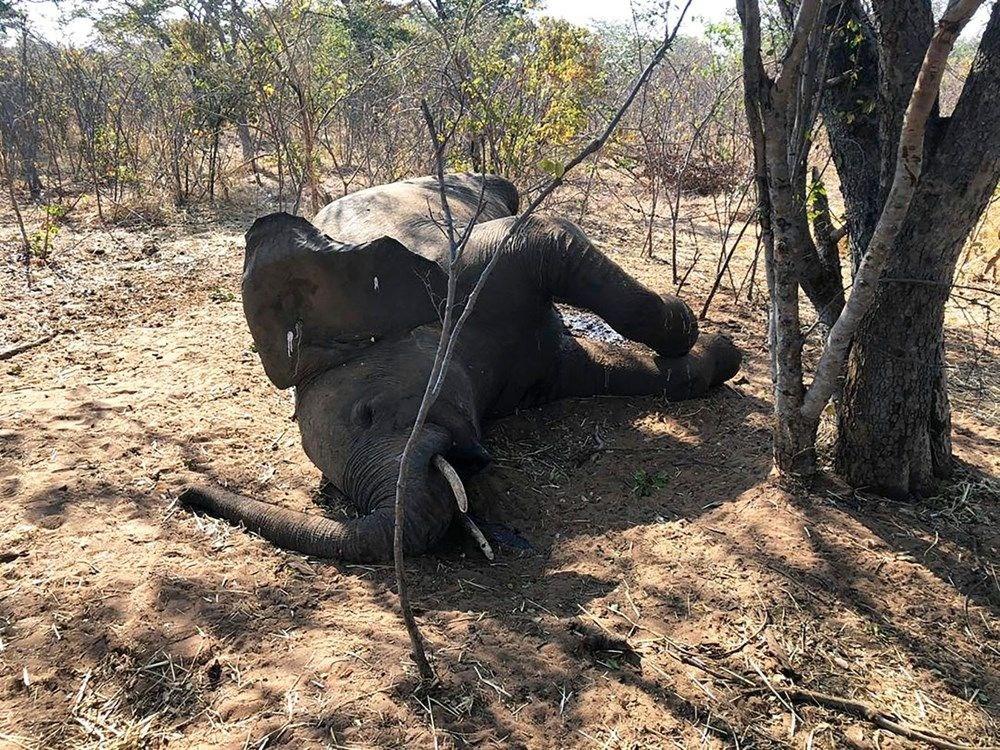 Bostvana'daki gizemli fil ölümlerinin nedeni açıklandı - 7