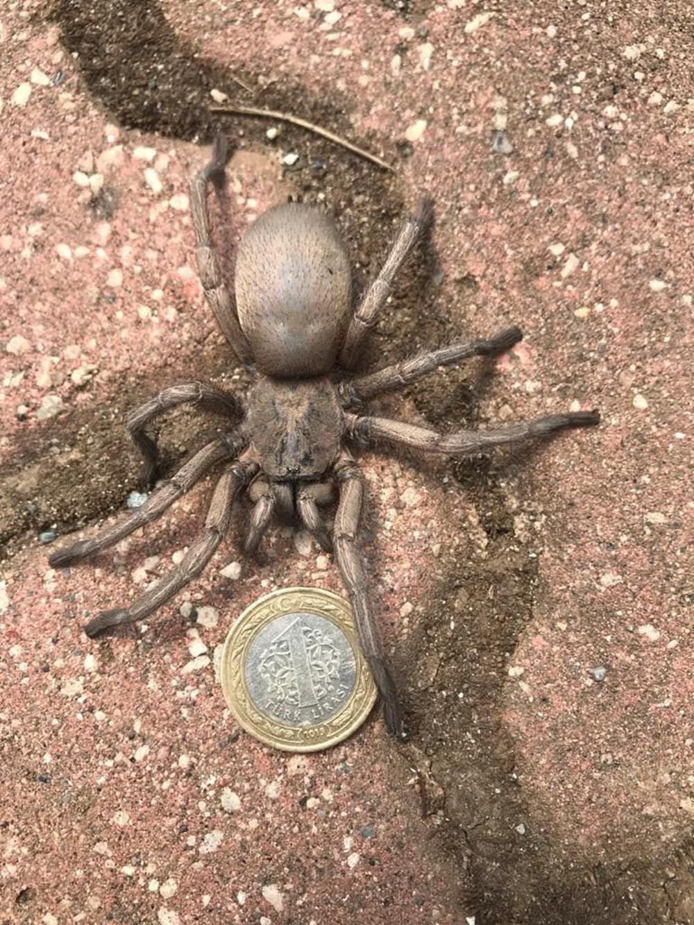 Osmaniye'de dev örümcek paniği - 5