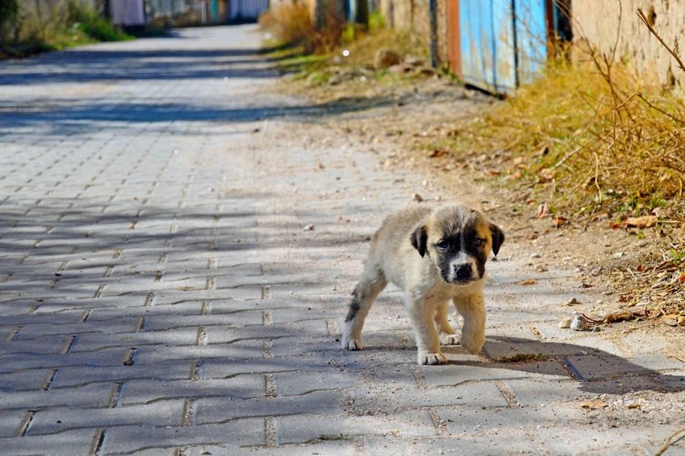Pandemide sahiplenilen her beş köpekten biri terk edilme riskiyle karşı karşıya - 4
